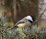 Snow Tree Prints Metal Prints - Chickadee-10 Metal Print by Robert Pearson