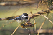 Wildlife Greeting Cards Posters Prints - Chickadee-11 Print by Robert Pearson