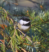 Wildlife Greeting Cards Posters Prints - Chickadee-12 Print by Robert Pearson