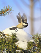 Birds In Snow Posters - Chickadee-13 Poster by Robert Pearson