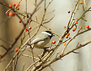 Black-capped Prints - Chickadee 2 of 2 Print by Robert Frederick