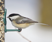 Feeder Greeting Cards Posters - Chickadee-4 Poster by Robert Pearson