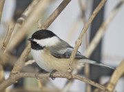 Wildlife Greeting Cards Posters Prints - Chickadee-5 Print by Robert Pearson