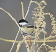 Snow Prints Posters - Chickadee-8 Poster by Robert Pearson
