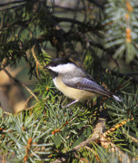Winter Prints Photo Prints - Chickadee-9 Print by Robert Pearson