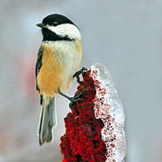 Freeze Framed Prints - Chickadee After The Ice Storm Framed Print by Tony Beck