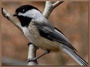 Perched Mixed Media Posters - Chickadee Bird Poster by Debra     Vatalaro