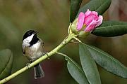 Chickadee Originals - Chickadee by Rhododendron Bud by Alan Lenk