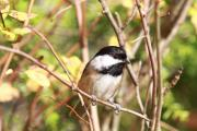 Baby Bird Posters - Chickadee Poster by David  Naman