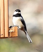 Signed Digital Art Posters - Chickadee Eating Nut 5779-II Poster by Suzanne  McClain