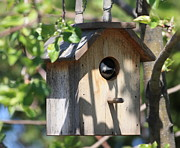 Little Bird Posters - Chickadee in Birdhouse Poster by Marjorie Imbeau
