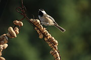 Peanuts Photos - Chickadee on the Peanut Ring by Marjorie Imbeau