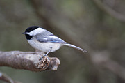 Roger Lewis Metal Prints - Chickadee  Metal Print by Roger Lewis