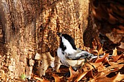 Larry Bird Art - Chickadee with Sunflower Seed by Larry Ricker