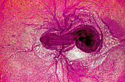 Gallus Gallus Posters - Chicken Embryo Poster by Dr Keith Wheeler