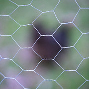 Chicken Photos - Chicken Wire by Peter Chadwick LRPS