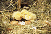 Gallus Gallus Prints - Chicks Print by David Aubrey