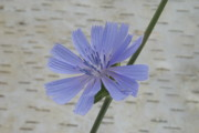 Isolated On Blue Background Framed Prints - Chicory Framed Print by Michael Peychich