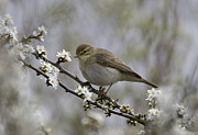 Warbler Originals - Chiff Chaff on Blackthorn Blossom by Bob Kemp