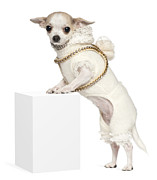 No Clothing Posters - Chihuahua (2 Years Old) Standing Up Poster by Life On White