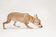 Dog Walking Posters - Chihuahua Dog Sniffing Ground Poster by Evan Kafka