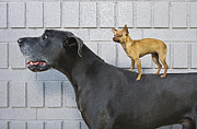 Large Scale Framed Prints - Chihuahua On Great Danes Back Framed Print by Brand X Pictures