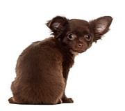 Looking Over Shoulder Posters - Chihuahua Puppy (3 Months Old) Poster by Life On White