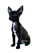 Black Dog Posters - Chihuahua Puppy Poster by Hapa