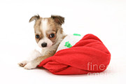 Chihuahua Framed Prints - Chihuahua Puppy In Christmas Hat Framed Print by Jane Burton