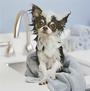 Chihuahua Framed Prints - Chihuahua Puppy Wrapped In Towel On Sink, Close-up Framed Print by GK Hart/Vikki Hart