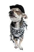 Pampered Prints - Chihuahua Wearing A Scarf And A Cowboy Hat Print by Life On White