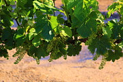 Grape Vineyard Prints - Childhood of wine Print by Viktor Savchenko