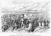 Chile Framed Prints - Chile: Wine Harvest, 1889 Framed Print by Granger