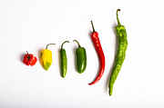 Hot Peppers Framed Prints - Chili Peppers Framed Print by Photo Researchers, Inc.