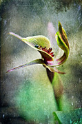 Tasmania Prints - Chiloglottis Print by David Lade