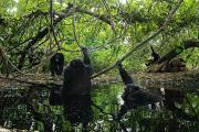 Senegal Framed Prints - Chimpanzee Males Seek Out Pools Framed Print by Frans Lanting