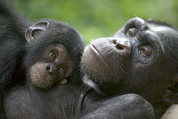 Two Animals Framed Prints - Chimpanzee Mother And Infant Framed Print by Cyril Ruoso