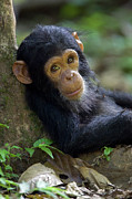 Animals And Earth Prints - Chimpanzee Pan Troglodytes Baby Leaning Print by Ingo Arndt