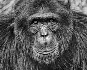 Featured Tapestries Textiles Prints - Chimpanzee Portrait 1 Print by Richard Matthews