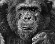 Chimpanzee Glass - Chimpanzee Portrait 2 by Richard Matthews
