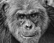 Chimpanzee Glass - Chimpanzee Portrait 3 by Richard Matthews