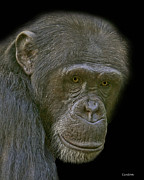 Chimpanzee Portrait Print by Larry Linton