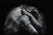 Embracing Prints - Chimpanzees Hug One Another Print by Andrew Bret Wallis