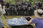 Fences Prints - Chimpanzees Look On In Grief Print by Monica Szczupider/National Geographic My Shot