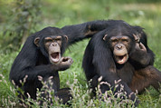 Vallee Prints - Chimpanzees Pan Troglodytes Calling Print by Cyril Ruoso