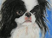 Japanese Chin Framed Prints - Chin-sational Framed Print by Cori Solomon