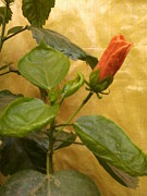 Amisha Tripathy - China Rose Bud