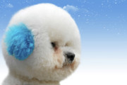 Toy Breed Prints - Chinas latest craze - Dyeing pets Print by Christine Till