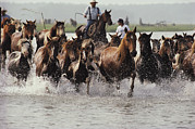 Wild Horses Prints - Chincoteague Cowboys Drive Their Wild Print by Medford Taylor