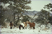 Wild Horses Prints - Chincoteague Ponies Forage For Food Print by Medford Taylor